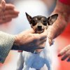 Ch. Barbery's Love Letter, a Toy Fox Terrier, is handled by Gene Bellamy of Oklahoma City as she is judged Sunday at the OKC Summer Classic Dog Shows. Photo by John Clanton, The Oklahoman