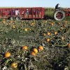 A tractor pulls a wagon full of visitors to the Tuttle Orchards, in Greenfield, Ind., where they picked pumpkins from one of the orchards pumpkin patches Monday, Oct. 8, 2012. The orchard had a good pumpkin crop but canceled public apple-picking this year after a series of sub-freezing nights zapped apple blossoms lured into early bloom by unusually warm March weather. (AP Photo/Michael Conroy)