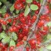 Yaupon Holly berries frozen in ice Community Photo By: Elaine Coleman Submitted By: Elaine, Oklahoma City