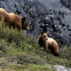 Bears walks along a cliff in Glacier Bay Alaska, Thursday, June 7, 2012. Photo by Sarah Phipps, The Oklahoman
