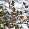 Snow piles up on Sweetgum leaves in Edmond, OK, Friday, December 6, 2013, Photo by Paul Hellstern, The Oklahoman