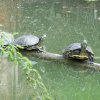 Turtles at Myriad Gardens Community Photo By: Cindi Tennison Submitted By: Cindi , Bethany