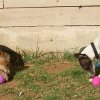 Silas Bullet and Paloma Belladogga, year-old Italian greyhounds, work to extract treats from treasures they\'ve found during their first Easter egg hunt on Sunday morning. Community Photo By: Amy Raymond Submitted By: Amy, Oklahoma City
