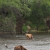 Photo - Two brown bears scan the river looking for salmon at Katmai National Park and Preserve, Alaska on July 4, 2013. (AP Photo/Mark Thiessen)