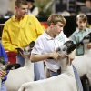 Chad McGolden, center, stands with other entrants, parading their sheep for the judges at the Oklahoma Youth Expo at State Fair Park on Tuesday, March 18, 2014. McGolden is a member of the Fairview 4H Club. Photo by Jim Beckel, The Oklahoman