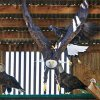Eagles takes off from a perch in the flight cage at Grey Snow Eagle House in Perkins, Wednesday, January 11, 2012. Photo by David McDaniel, The Oklahoman