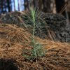 Photo - In this Friday, July 25, 2014 photo, a young Ponderosa Pine tree grows in an area destroyed by 2013's Rim Fire, near Groveland, Calif.  Nearly a year after the Rim Fire charred thousands of acres of forest in California's High Sierra, a debate rages over what to do with the dead trees, salvage the timber to pay for forest replanting and restoration or let nature take its course. Environmentalist say that the burned trees and new growth beneath them create vital habitat for dwindling bird such as spotted owls, and black-backed woodpeckers and other wildlife. (AP Photo/Rich Pedroncelli)