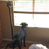 "Photo - This April 23, 2014 photo provided by Dianne Larson shows the family dog 9 month old Ruby waiting for her son, Tanner, at their home in Santa Clarita, Calif. Tanner was working with puppies and met Ruby, a black Lab. ""It was love at first sight,"" Larson said. Ruby is 1 year old now and school has been in session for two weeks. Ruby's still searching for him when he's gone. (AP Photo/Dianne Larson)"