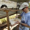 Volunteer Todd Watts, Slaughterville, hand feeds several Mississippt Kites on Saturday, Sept. 1, 2012 in Noble, Okla. Staff and volunteers at WildCare, wildlife rehabilitation center, released the last of over 400 of the mostly insect eating raptors that abandoned their nests during the June heat wave. Photo by Steve Sisney, The Oklahoman