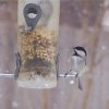 This bird checks out the bird feeder in my back yard. Community Photo By: Cindi Tennison Submitted By: Cindi , Bethany