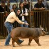 Emily Wilkinson watches the judge Tuesday as she directs her hog, Big Red, while she and other entrants compete at the Oklahoma Youth Expo at State Fair Park. Wilkinson is with the Cement FFA. Photo by Jim Beckel, The Oklahoman Jim Beckel -