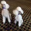 Standard Poodles Mikimoto, left, and Gem, are shown during a news conference ahead of the 135th Annual Westminster Kennel Club dog show, Thursday, Feb. 10, 2011 in New York. The dog show runs Feb. 14-15 at Madison Square Garden in New York. (AP Photo)