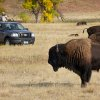 Photo -   Nearly 1,300 buffalo are to be corralled by about 60 men and women on horseback at the 47th annual Buffalo Roundup in western South Dakota's Custer State Park. Media from across the world were allowed to tour the herds Sunday, Sept. 23, 2012, in anticipation of the Monday herding, which was expected to draw more than 12,000 spectators. (AP Photo/Amber Hunt)