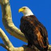 Oklahoma winter pastimes: Eagle watching and fiddlin'