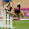 Photo - In this Dec. 14, 2012 photo provided by Great Dane Photos, Roo! clears a hurdle during an agility competition in Orlando, Fla. The husky mix will be one of about 225 agility dogs whizzing through tunnels, around poles and over jumps as she competes in the Westminster Dog Show's new agility competition in February 2014. The agility competition is open to mix-breeds as well as pedigrees. (AP Photo/Great Dane Photos, Amy Johnson) NO SALES