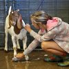 Jordan Parrott, of El Reno, scrubs the hooves of her goat as she gives it a bath during the first day of the Canadian County Fair on Thursday, Aug. 26, 2010, in El Reno, Okla. Photo by Chris Landsberger, The Oklahoman