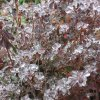 Frozen Azalea 12/12/07 In Kerry and Marilyn Solomon\'s yard on Emerald Drive Community Photo By: Marilyn Solomon Submitted By: Marilyn, Oklahoma City