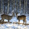 Two does walk in the forest near the village of Lovtsevichi, 50 km ( 31,2 miles) north-west of Minsk, Belarus, Monday, Jan. 4, 2016. The temperatures in Belarus reached around -15 Celsius (5 degrees Fahrenheit). (AP Photo/Sergei Grits)