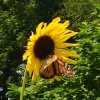 Sunflower and butterfly. Photo by Joan Walters