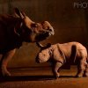 Photo -  Esteemed National Geographic photographer Joel Sartore recently photographed Niki and Rupert, a mother-son Indian rhinoceros duo at the Oklahoma City Zoo, for his ongoing Photo Ark project. Photo provided