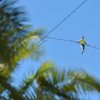 Photo - Aerialist Nik Wallenda walks the high wire 200 feet over U.S. 41 in Sarasota, Fla., without a safety harness on Tuesday, Jan. 29, 2013.  The Sarasota City Commission is allowing him to do the stunt without a tether. Wallenda wore a tether for the first time last summer when he walked across Niagara Falls because the television network that was paying for the performance insisted on it. (AP Photo/Sarasota Herald-Tribune, Mike Lang)  PORT CHARLOTTE OUT; BRADENTON HERALD OUT; TV OUT;  ONLINE OUT
