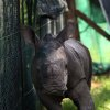 This photo taken Jan 12 2013 at an undisclosed conservancy in South Africa shows an orphaned baby rhino in a pen. The 2-month-old calf was hacked with axes and machetes by poachers and left for dead when she tried to return to her mother who was being dehorned. Veterinarians are racing to learn more about rhino anatomy so they can swiftly treat survivors of attacks by poachers whose arsenal has included assault rifles, high-caliber weapons that can fell a rhino with a single shot and drug-tipped darts that knock it out. (AP Photo) SOUTH AFRICA OUT