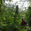 An ElderTreks guide searches for a trail in Uganda\'s Bwindi Impenetrable Forest. Photo courtesy of ElderTreks.