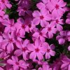 Phlox blooms at the Omniplex gardens Community Photo By: Cindi Tennison Submitted By: Cindi , Bethany