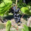 Wines are a growing offering in Door County, Wis. Here is a vine at Orchard Country Winery and Market. - Amy Raymond, The Oklahoman
