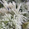 Ice on a pine tree in Edmond, Friday , January 29, 2010. Photo by David McDaniel, The Oklahoman