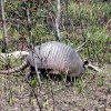 An armadillo in one of our state\'s recovering wildfire areas. Community Photo By: Eldon Harris Submitted By: Eldon, Bethany