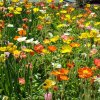 A field of brilliant poppies at