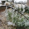 WINTER / COLD / WEATHER / ICE STORM 2007: Two pine trees bend to the ground near the driving range. John Conrad Golf Course in Midwest City is unplayable for an undetermined period until tree branches can be removed from the course. According to Larry Denney, course director, at least 80 per cent of trees on the course sustained some damage from heavy ice. Denney and C.B. Hutchins, groundskeeper, look at some of the damage near the first green Tuesday morning, Dec. 11, 2007. By Jim Beckel, The Oklahoman. ORG XMIT: KOD