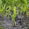 Photo - A corn plant sits in a muddy farm field, Monday, June 30, 2014, near Dallas Center, Iowa. The U.S. Department of Agriculture, in a report released Monday, says farmers are planting the smallest corn crop since 2010 but as expected have planted the largest soybean crop on record. (AP Photo/Charlie Neibergall)