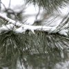 Snow clings to a pine branch after about an inch of snow fell overnight in Oklahoma City, OK, Monday, Feb. 13, 2012. By Paul Hellstern, The Oklahoman