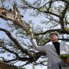 Photo - Yao Ming, a former Houston Rockets center, feeds a giraffe at the Houston Zoo, Thursday, Feb. 14, 2013, in Houston. Yao has increased his role as an animal-rights activist since his retirement from basketball in 2011. (AP Photo/Pat Sullivan)