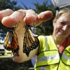 Two newly emerged monarch butterflies cling to Marilyn Stewart\'s fingers at the Monarch Migration and Butterfly Festival on Saturday, Sept. 21, 2013 in Cole, Okla. Stewart owns Wild Things Nursery which sells habitat plants for the insects. Photo by Steve Sisney, The Oklahoman