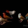 Photo -  Acclaimed wildlife photographer and Ponca City native Joel Sartore took this portrait of various finches during his recent visit to the Tulsa Zoo. Through his Photo Ark, Sartore is trying to take portraits of every animal species in captivity. Photo provided by Joel Sartore