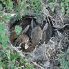 What a surprise while working in our back yard. A burrow of baby cottontails hidden in a small weed patch. Community Photo By: Richard Winnard Submitted By: Toni, Okla. City