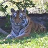 Tiger at Disney\'s Animal Kingdom in Orlando, Florida.(digitally enhanced) Community Photo By: Cindi Tennison Submitted By: Cindi , Bethany