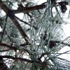 Ice covers pine tree branches outside a home in Altus,Oklahoma on December 24, 2009. Submitted by Tina Fowble.