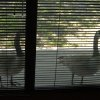 "I office in the Belle Isle area, where there was once a small lake. These ducks used to come by my office window, and peck on the glass as if to ask, ""What happened to our water."" Pretty strong DNA wouldn\'t you say? Community Photo By: Gina Jordan Kishur Submitted By: Gina Jordan, Oklahoma City"
