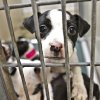 Pets that are up for adoption in part of the Oklahoma City Animal Shelter\'s Valentine\'s Day adoption special on Friday, Feb. 10, 2012, in Oklahoma City, Okla. Photo by Chris Landsberger, The Oklahoman