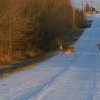 Deer Crossing near The Wilds of BLC in El Reno Community Photo By: Berry J. Yarbrough Submitted By: Berry, Bethany