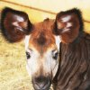 Photo - The Oklahoma City Zoo's baby okapi Nia was born in November. Photo provided