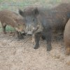 Feral hogs are held in a pen near Leedey. The expanding population of wild hogs is a growing problem in Oklahoma. Feral hogs can now be found in all 77 counties of Oklahoma. Photo provied by the Oklahoma Department of Agriculture, Food and Forestry