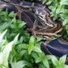 Photo -  A Burmese python is seen in the backyard of a home in Toppers in Wagoner County near Fort Gibson Lake. Photo provided