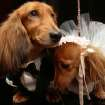 Dachshunds dressed for the occasion, Clifford, left, and his cousin Dee Dee, share a moment as they wait to take part in the most expensive wedding for pets Thursday July 12, 2012 in New York. The black-tie fundraiser, where two dogs were
