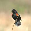 A Male Blackbird Struts His Stuff Looking for a Mate...Lake Hefner Wild Bird Ponds.  Community Photo By:  Michael Gross  Submitted By:  Michael, Oklahoma City