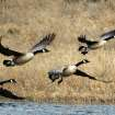 Canadian Geese In Flight...Great Salt Plains National Wildlife Refuge  Community Photo By:  Michael Gross  Submitted By:  Michael, Oklahoma City